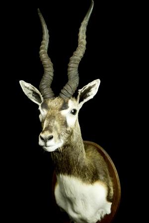 India antiloop / Blackbuck / Antilope cervicapra