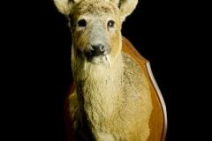 Hiina Vesihirv / Water Deer / Hydropotes inermis