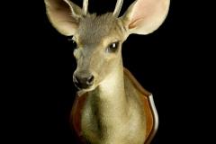Brocket deer / (Red) Brocket deer / Mazama Americana