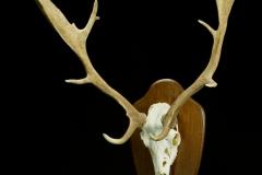 Kabehirv / Fallow Deer / Dama dama dama