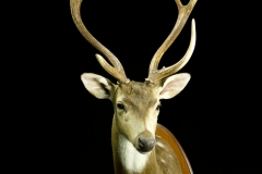 Axis / Axis  Deer (Chital) / Axis axis