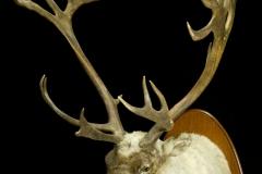 Põhjapõder / Reindeer / Rangifer tarandus