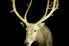 Miilu ehk Davidi hirv / Pere David`s deer / Elaphurus Davidianus