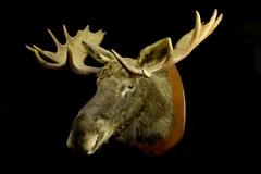 Põder / Elk / Alces alces