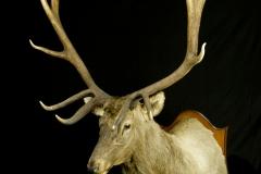 Kaspia punahirv, Maral / Caspian red deer / Cervus elaphus maral