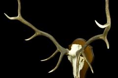 Maral / Altai Wapiti / Servus elaphus sibiricus