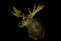Ida-Siberi põder / Chukotka Moose / Alcec alces buturlini