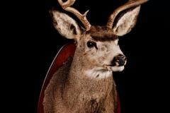 Muulhirv / Mule deer / Odocoileus hemionus
