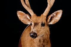 Rabahirv / Marsh Deer / Blastocerus dichotomus