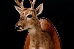 Pampa hirv / Pampas Deer / Ozotoceros bezoarticus