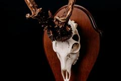 Metskits (sarved) / Roe Deer / Capreolus capreolus