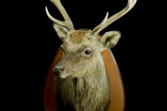 Jaapani tähnikhirv / Sika deer Japanese / Cervus Nippon