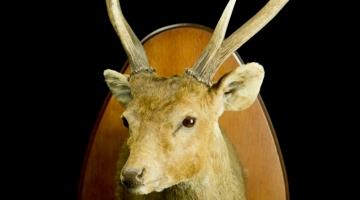 Hog deer / Indian Hog deer/ Hyelaphus porcinus