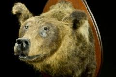 Karu  / Bear / Ursus arctos
