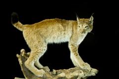 Ilves / Lynx / Felis lynx