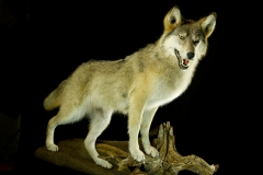 Hunt  / Wolf / Canis lupus