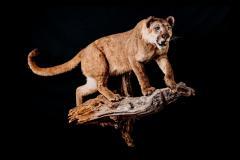Puuma / Cougar/Puma / Puma concolor