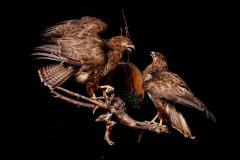 Hiireviu / Common buzzard / Buteo buteo