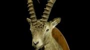 Kaljukits / Sibirian Ibex / Capra sibirica sibirica