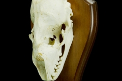 Hüljes (kolju) / Grey seal / Halichoerus grypus