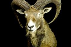 Muflon / Mouflon / Ovis orientalis orientalis