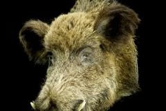 Metssiga / Wild Boar / Sus scrofa