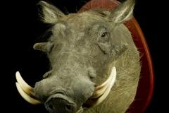 Tüügassiga / Warthog / Phacochoerus africanus