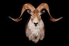 Marco Polo lammas / Marco Pole sheep / Ovis ammon polii